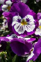 Little violet pansy by Daisydog8