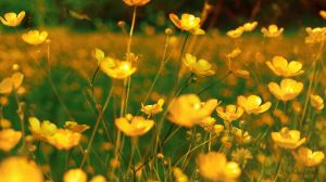 Buttercup meadow by RoB-FranKsDad