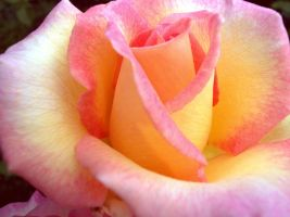 A Peace of Rose by cappling