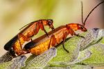 Mating Beetles by dalantech