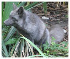 A gray Red Fox by OutlawedPariah
