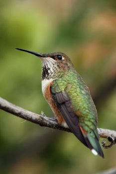 Resident Hummingbird by papatheo