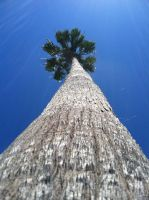 Giant Palm by bugtussle