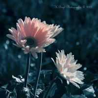 Gentle Gerbera by K-Boyd-Photography