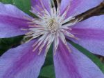 Clematis Flower by DreamsWithinMe