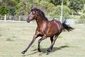 Dn black pony front view canter by Chunga-Stock