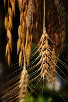 Sunlight over my grains by geory