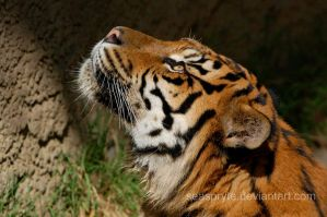 Siberian Tiger:  Looking Up by SeaSpryte