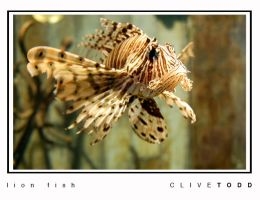 lion fish by Shmaff