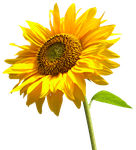 Sunflower PNG by LG-Design