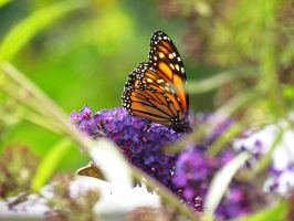 Monarch at the Butterfly Bush by jloli