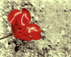 Red Tulip by NickField