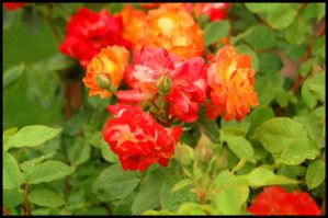 Rose color 2 by hookahbill