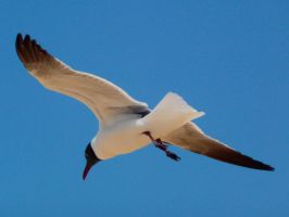Flying seagull by Seigner