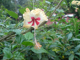 Hibiscus_0058 by Shuberth