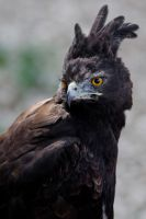 8147 - Long-crested eagle by Jay-Co