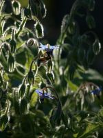 Bees on Borage 03 by botanystock