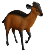 Red-flanked Duiker by Twidde