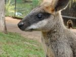 Wallaby by skoox