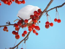 Red Berries in Snow #2759 by darenw