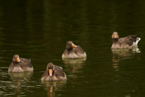 Ducks by just0a0smile