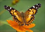 A Painted Lady by UncleTerry