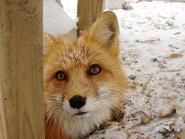 Fox in snow by Angelos-Griever