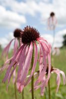 Echinacea by 20after4