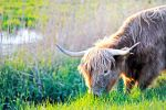 highland cattle by ZiggetyZag