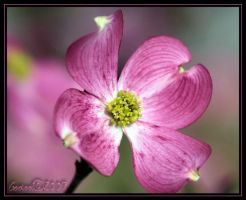 Dogwood Bloom by Gooiool