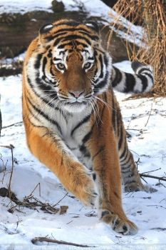 Siberian Tiger (020) - high spirits by Sikaris