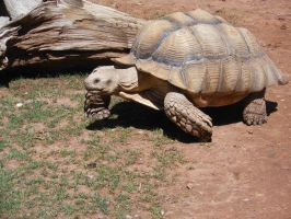 Spur-Thigh Tortoise by Fragillimus335