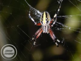 Spider Tiger 3 by zombiecorax