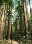 Muir Woods by mit19237