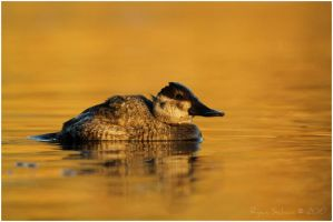 Ruddy Duck by Ryser915
