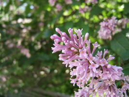 Lilacs in Moscow by mirator