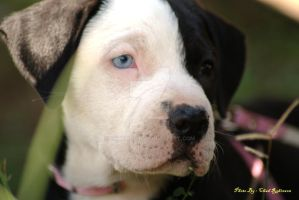 Pitbull Puppy by chadrobin