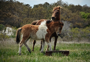 Assateague Family by Jaded-Night