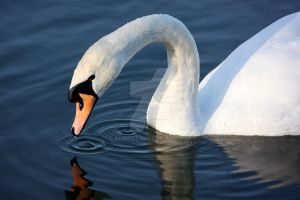 Swan-flection by agnott