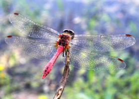 Red dragonfly by Biljana1313
