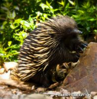 Baby Echidna by ecr8on