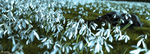 Snowdrops© by Massi-San