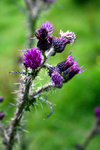 Thistle and weeds by cavemut