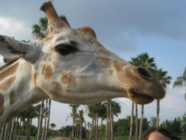 Stock: Giraffe 2 by equizotical