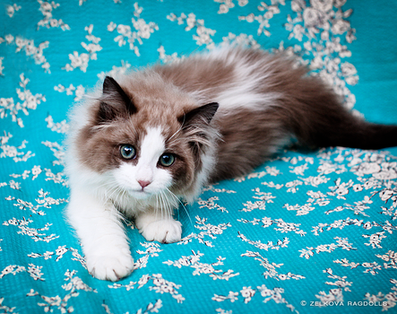 seal mink ragdoll kitten by venomxbaby