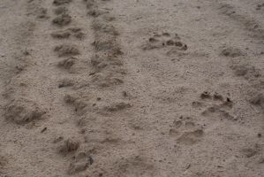 sand texure 1 - doggy paws by tailcat