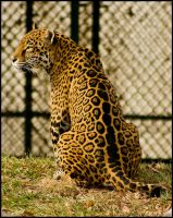 jaguar18 by redbeard31