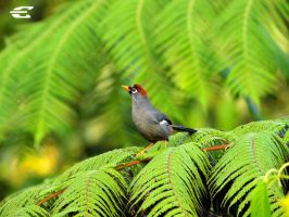 Chestnut-capped Laughingthrush by jitspics