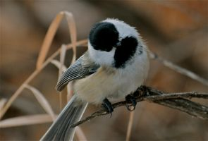 chickadee..to the right by contemporaryhart