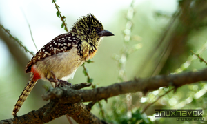 Usambiro Barbet 001 by OnyxHavok